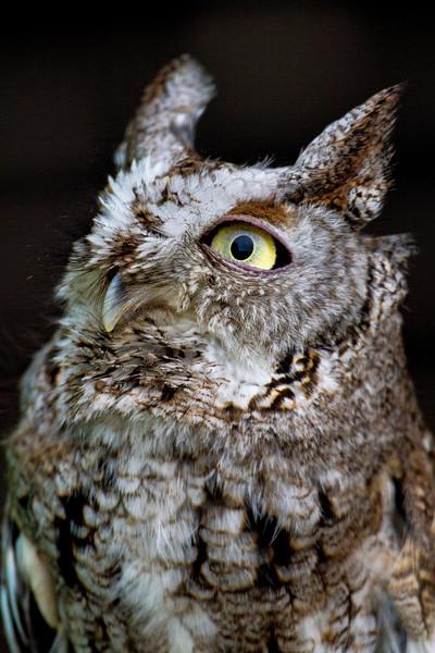 Gray Screech-Owl