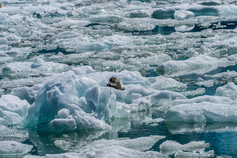 Puzzled Harbor Seal