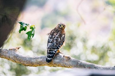 Hawk's Glare