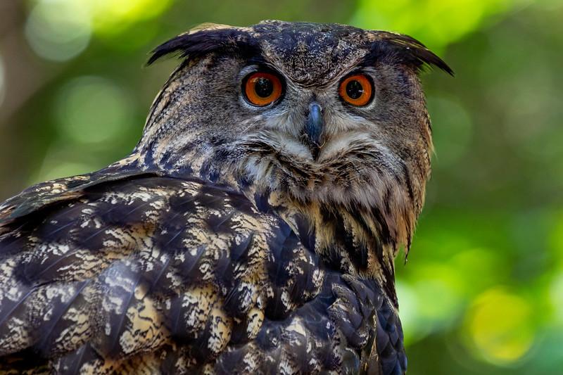 Eurasian Eagle Owl 3