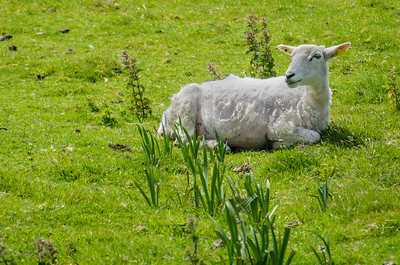 White sheep lying in the grass