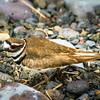 Killdeer Nest With Egg