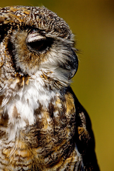 Horned Owl Silhoutte