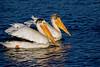 Pelican Swim
