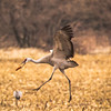 Sandhill Crane Display