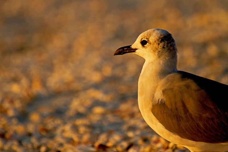 Beach Gull 1