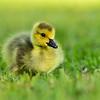 """""""Canada Goose Gosling"""""""