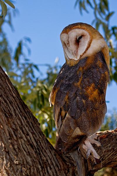 Barn Owl Perch