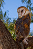Barn Owl Perch