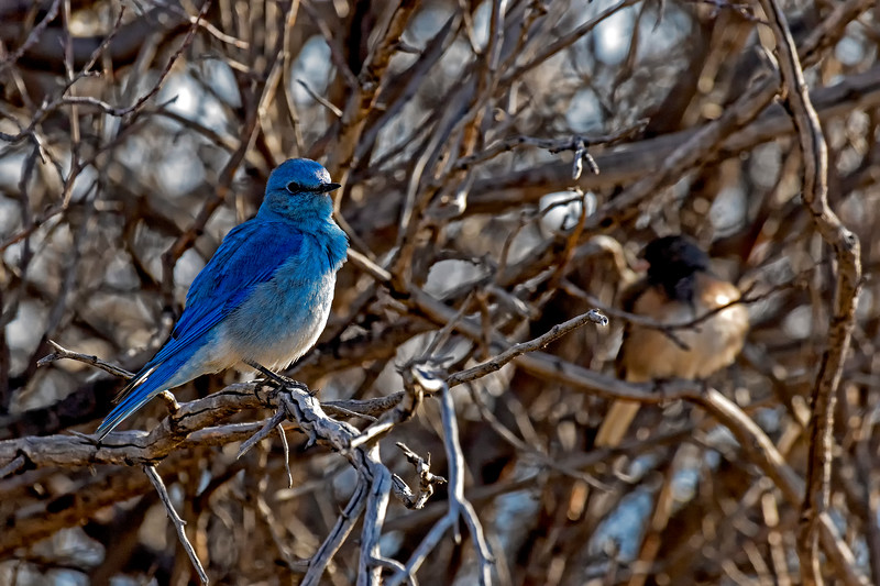 Mountain Bluebird 1