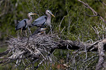 Great Blue Heron Family 3