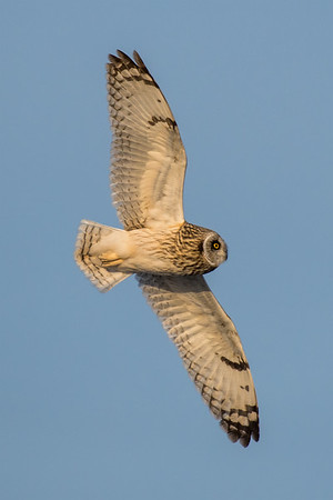 A short-eared owl on the hunt for voles in Montour County, Pennsylvania.