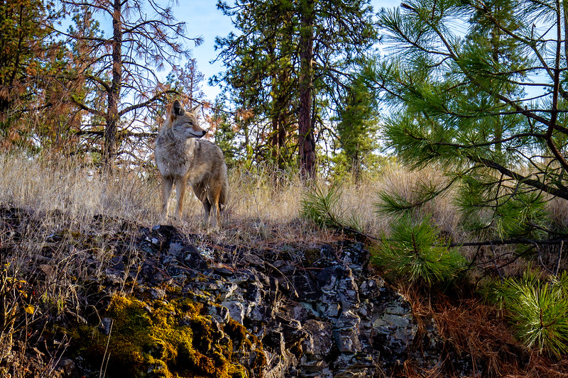Coyote on The Columbia Plateau Trail