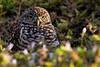Burrowing Owl 4