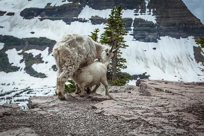 Baby Mountain Goat feeding