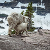 Baby Mountain Goat feeding
