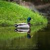 Rouen duck