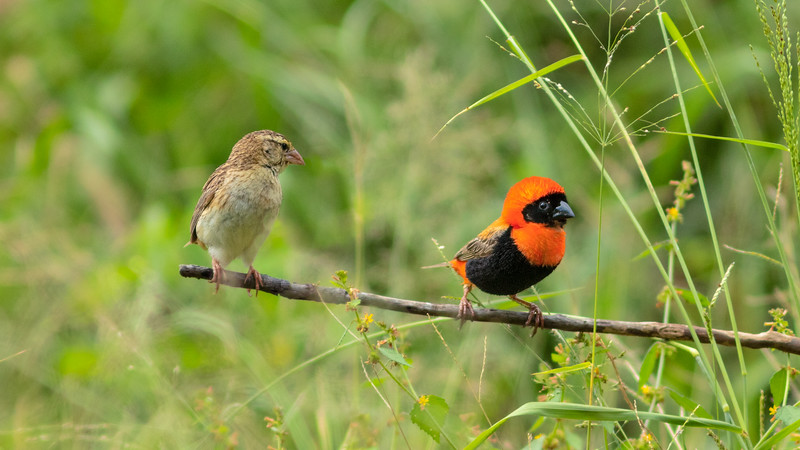 Red Bishop Courting