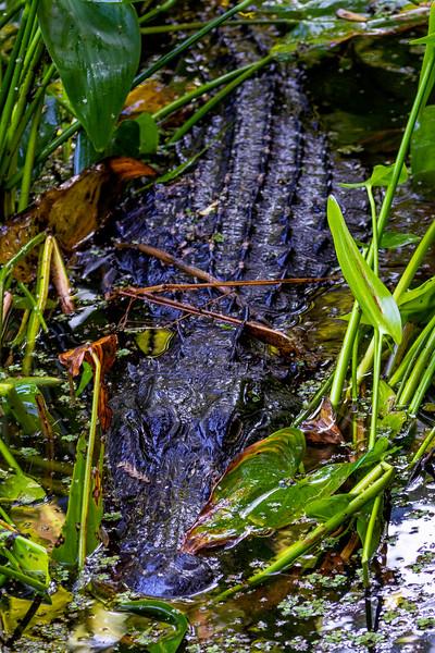 Swamp Gator 2