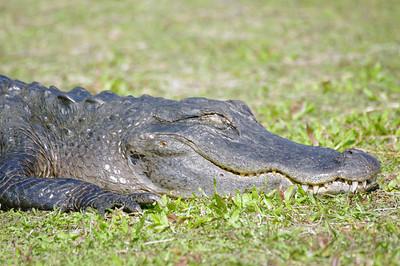 Gator, Everglades National Park, South Florida