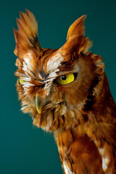 Red Screech-Owl