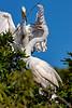 Great Egret Courtship 3