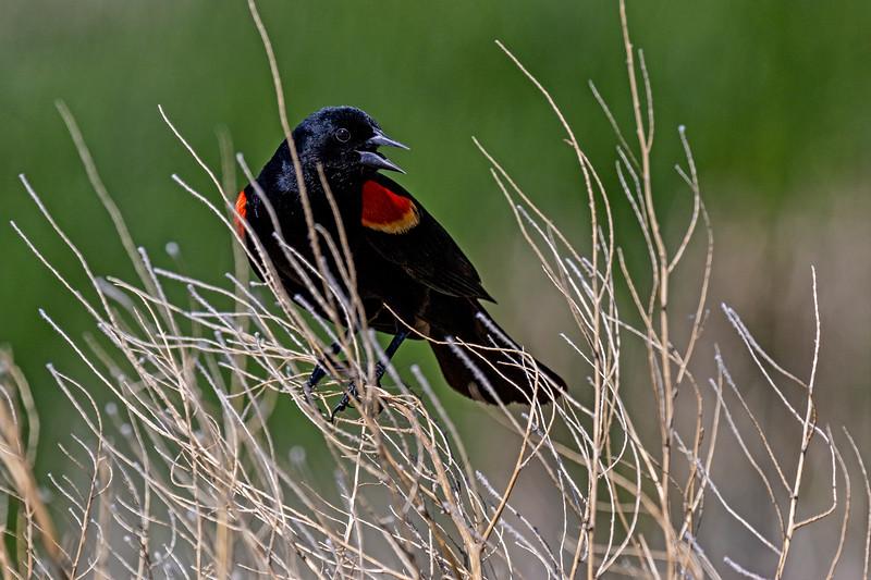Red-winged Blackbird Guard Duty