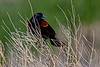 Red-winged Blackbird Guard Duty