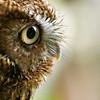 """""""Eastern Screech Owl"""""""