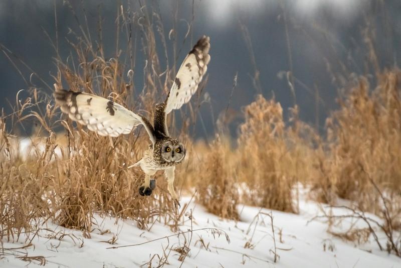 Short-eared Owl Takeoff