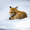 Yellowstone Fox # 2