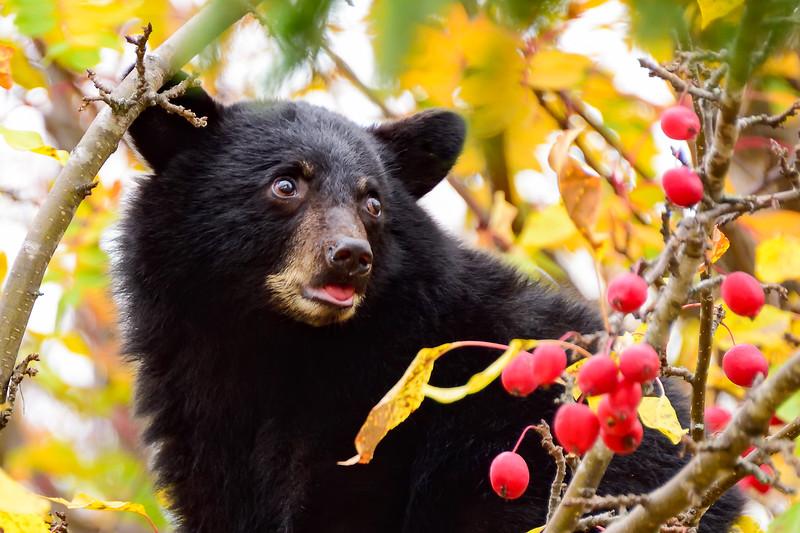Crabapple bear cub 01