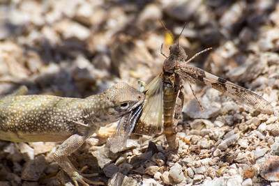 Lizard vs Grasshopper