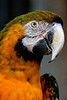 Golden Macaw 2