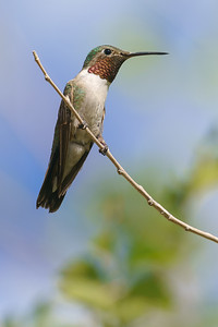 Broad-Tailed Hummingbird 07