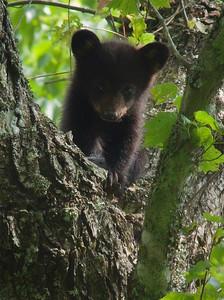 bear stare.
