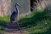Heron Strut