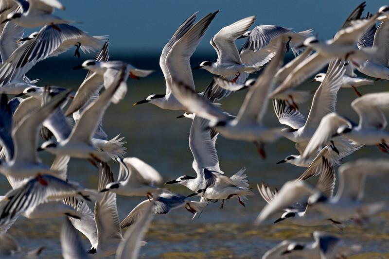 Terns in Flight 1