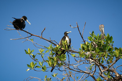 Frigate Birds and Brown Pelican