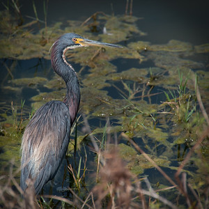 Great Blue Heron at Tiburon Golf Club