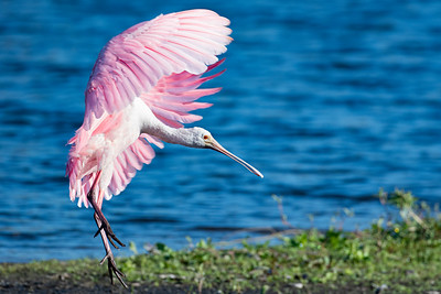 Rosetta Spoonbill in Flight