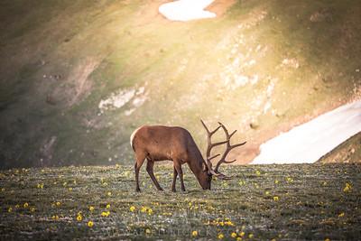 Elk on Trail Ridge Road, Rocky Mountain National Park