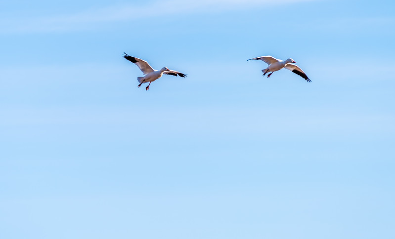 Snow Geese Prepare for a Landing
