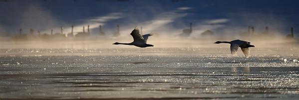 Trumpeter Swan (Cygnus Buccinator) in flight near Swan Haven, Yukon Territory.