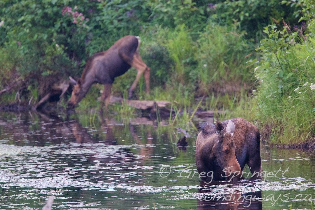 Algonquin moose and calf swamp