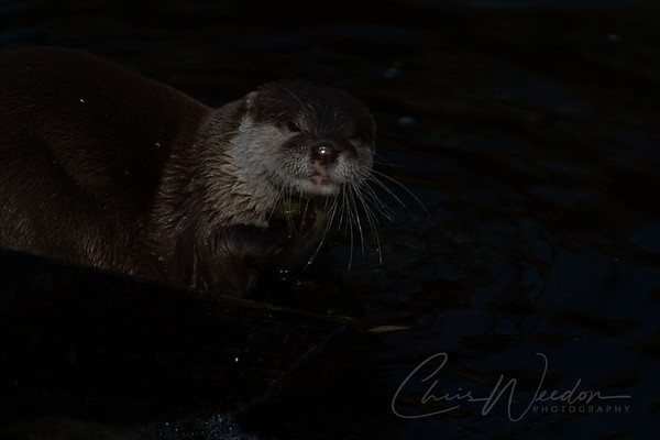 otters face