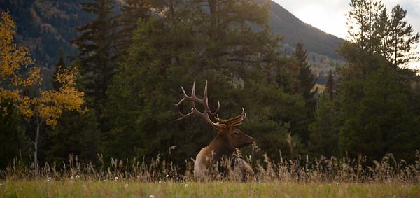 Elk, Jasper National Park, Alberta