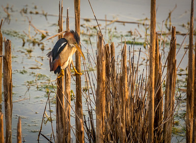 Elusive Least Bittern (Surveying)