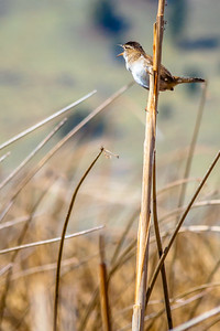 Marsh Wren Talking At You