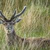 Deer, Highlands, Scotland